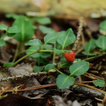 Partridge Berry