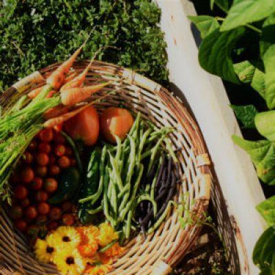 backyard veggie garden harvest