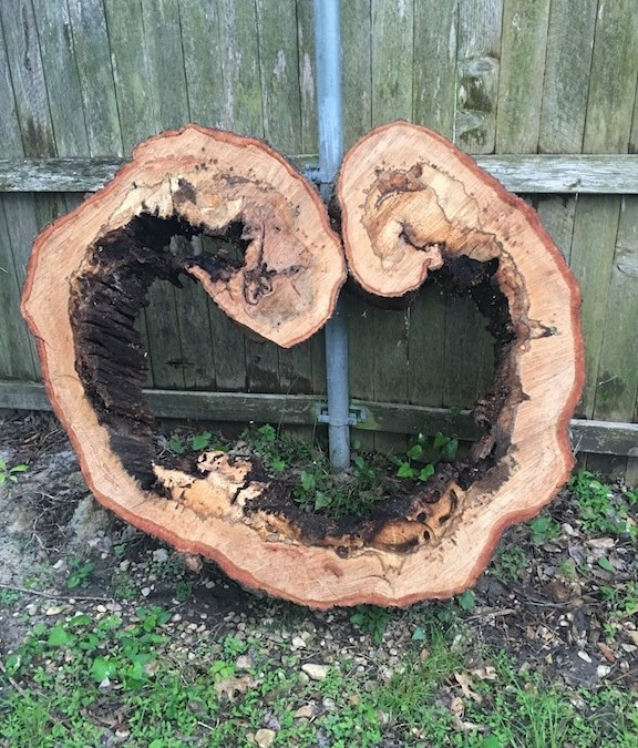 When Big Trees Fall