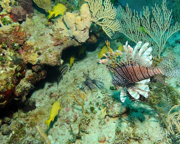 Caribbean Lionfish Predicament Living Oceans Global Reef