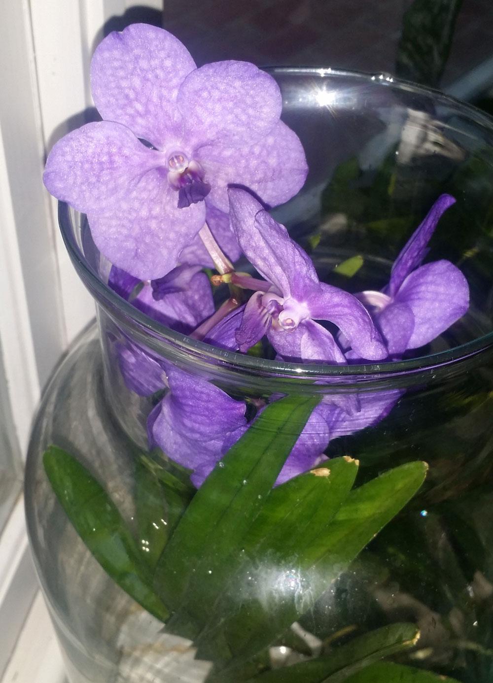Vanda Orchid in Kentucky