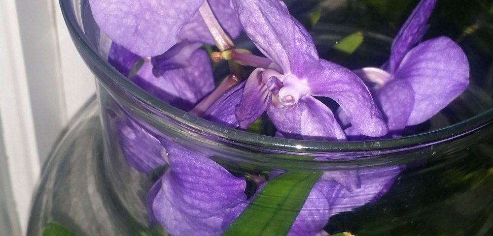 Vanda Orchid in Kentucky