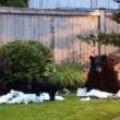 Important Community Meeting, Tomorrow, July 17th, To Discuss Snoqualmie Black Bear Problem