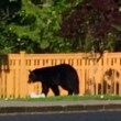 New Bear Encounters at Mt Si Cottages, Resident says Bear within Three Feet of Child
