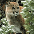 Was it a Cougar in North Bend? How to identify local wildlife