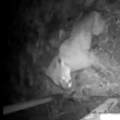 Identifying Local Wildlife: Video captures rare cougar appearance