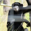 Tale of the Cle Elum 7 chimpanzees: Hope. Love. Home. Sanctuary