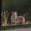 Tips to help local Wildlife stay Wild as sightings increase: coyote gets close, bobcats on porches, bears stroll sidewalks,