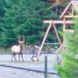 VIDEO | Need a Push? Snoqualmie Valley elk enjoys a backyard swing