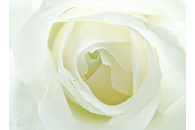 White Rose Of Beauty (1)