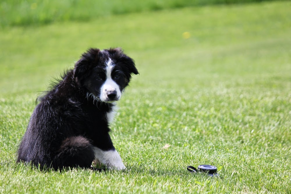 Sit, Stay, Lie Down-Border Collie Training
