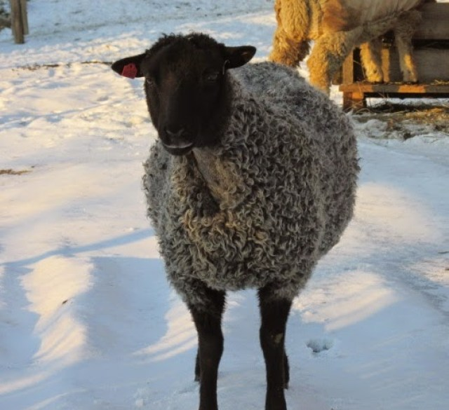 OPP-Ovine Progressive Pneumonia in Sheep - Living with Gotlands
