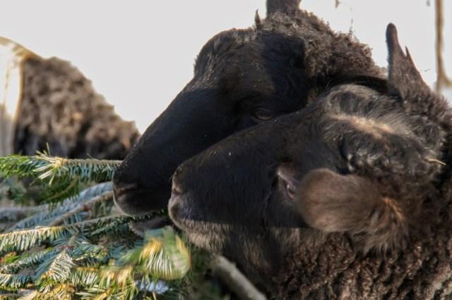 Gotland Sheep Love Pines