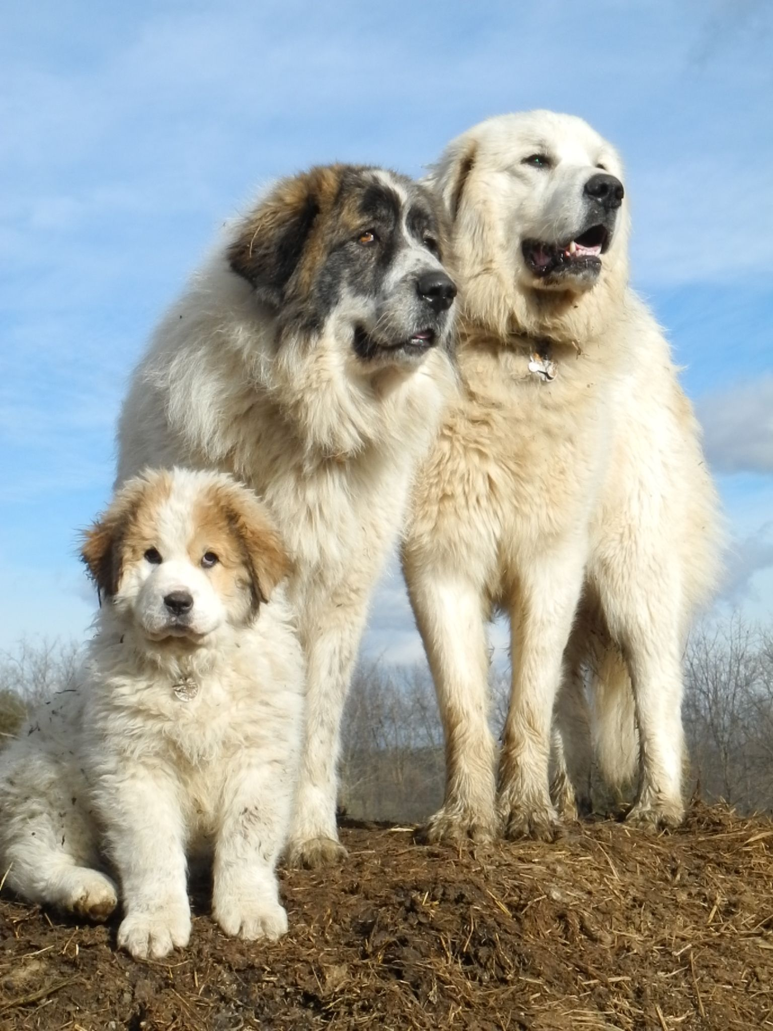 Ask the Shepherd~Livestock Guardian Dogs with Hannah Smith