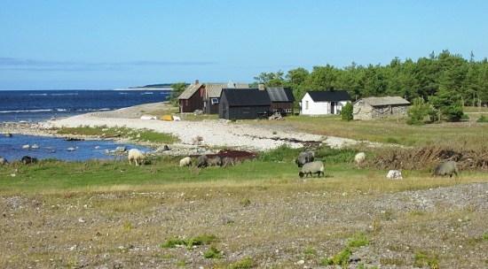 Sheep Grazing on Faro
