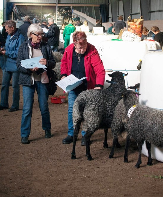 Serious Buyers Inspect the Rams