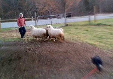 Herding Instinct in Border Collies