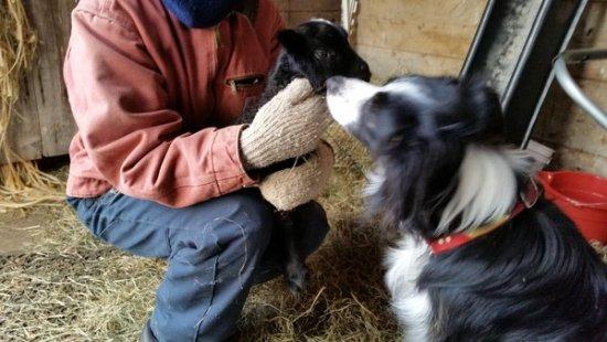 Kai and Gotland Lamb