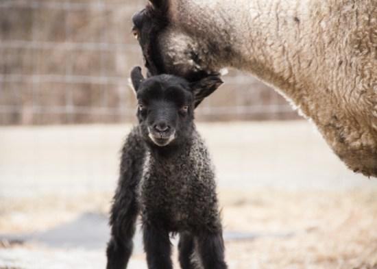 Kamila-Gotland Ewe Lamb