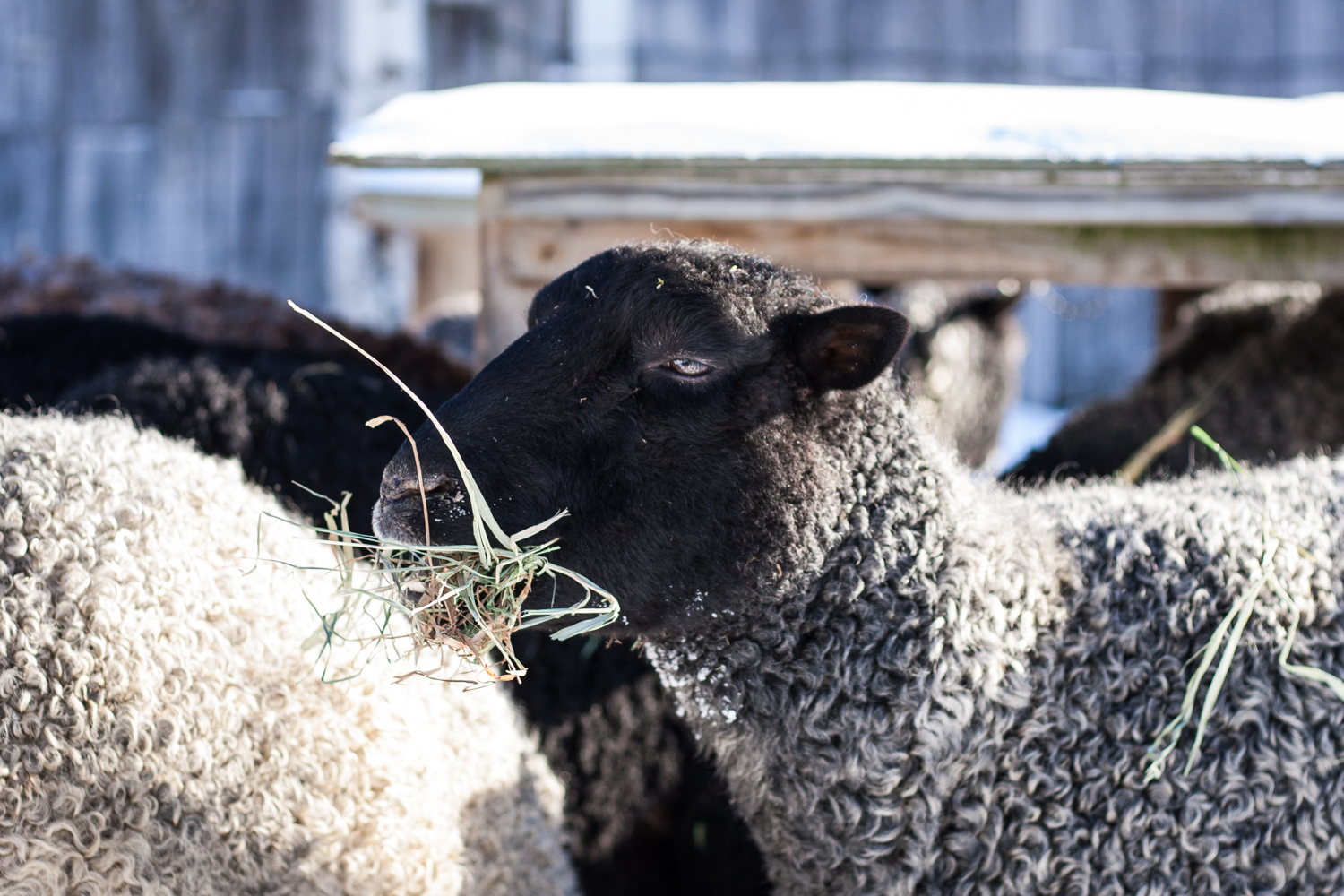 Four Distinct Eating Habits in Sheep & the Personality Traits That Go With Them