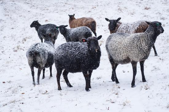 holding sheep