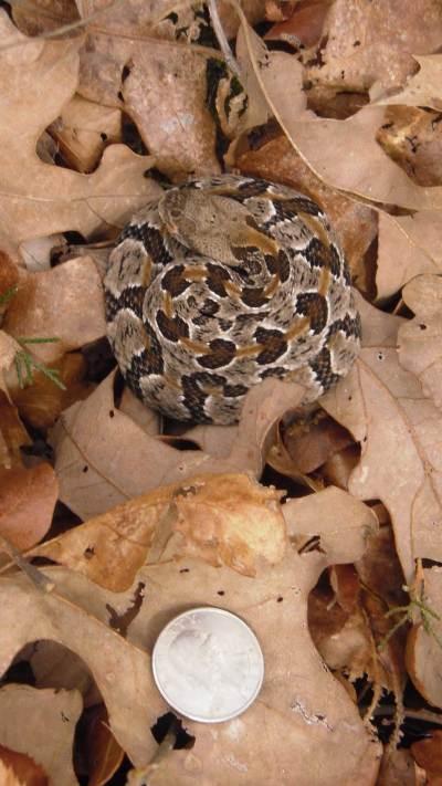 Newborn timber rattlesnake by Eric Nordberg