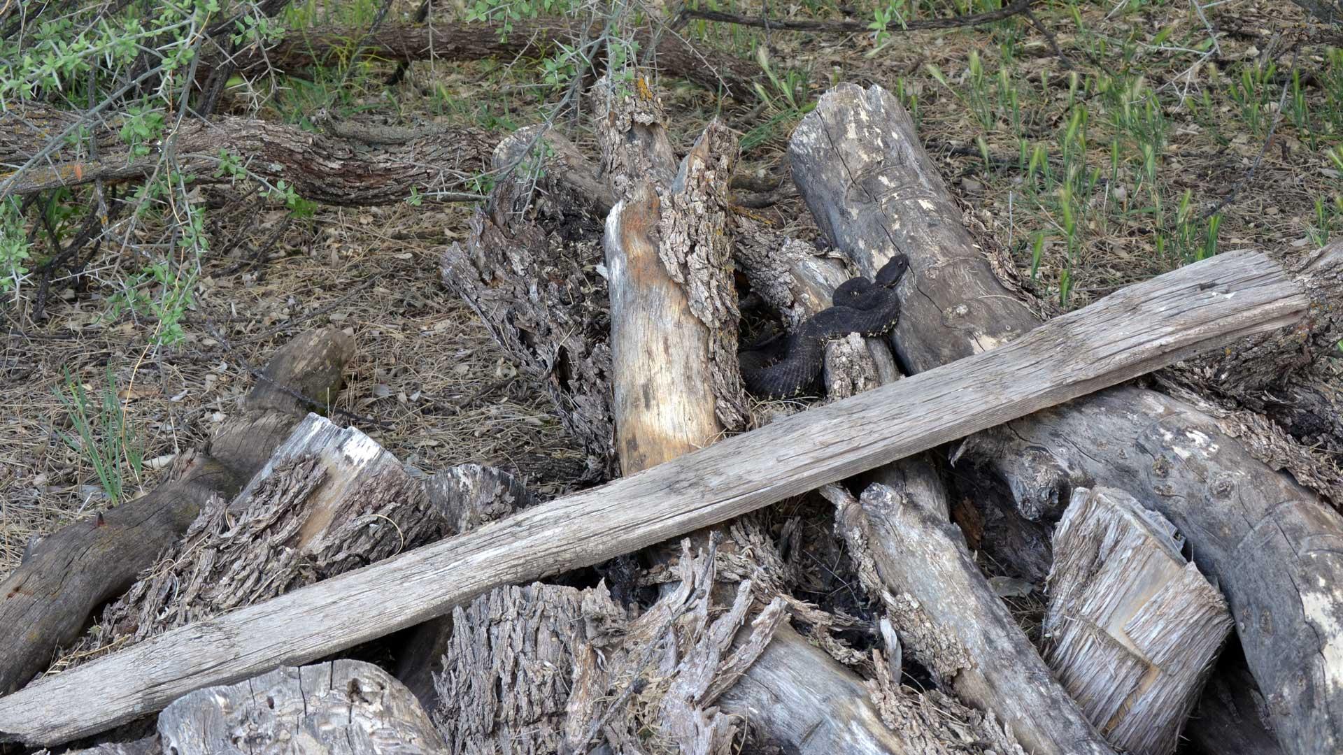 Arizona black rattlesnake on woodpile