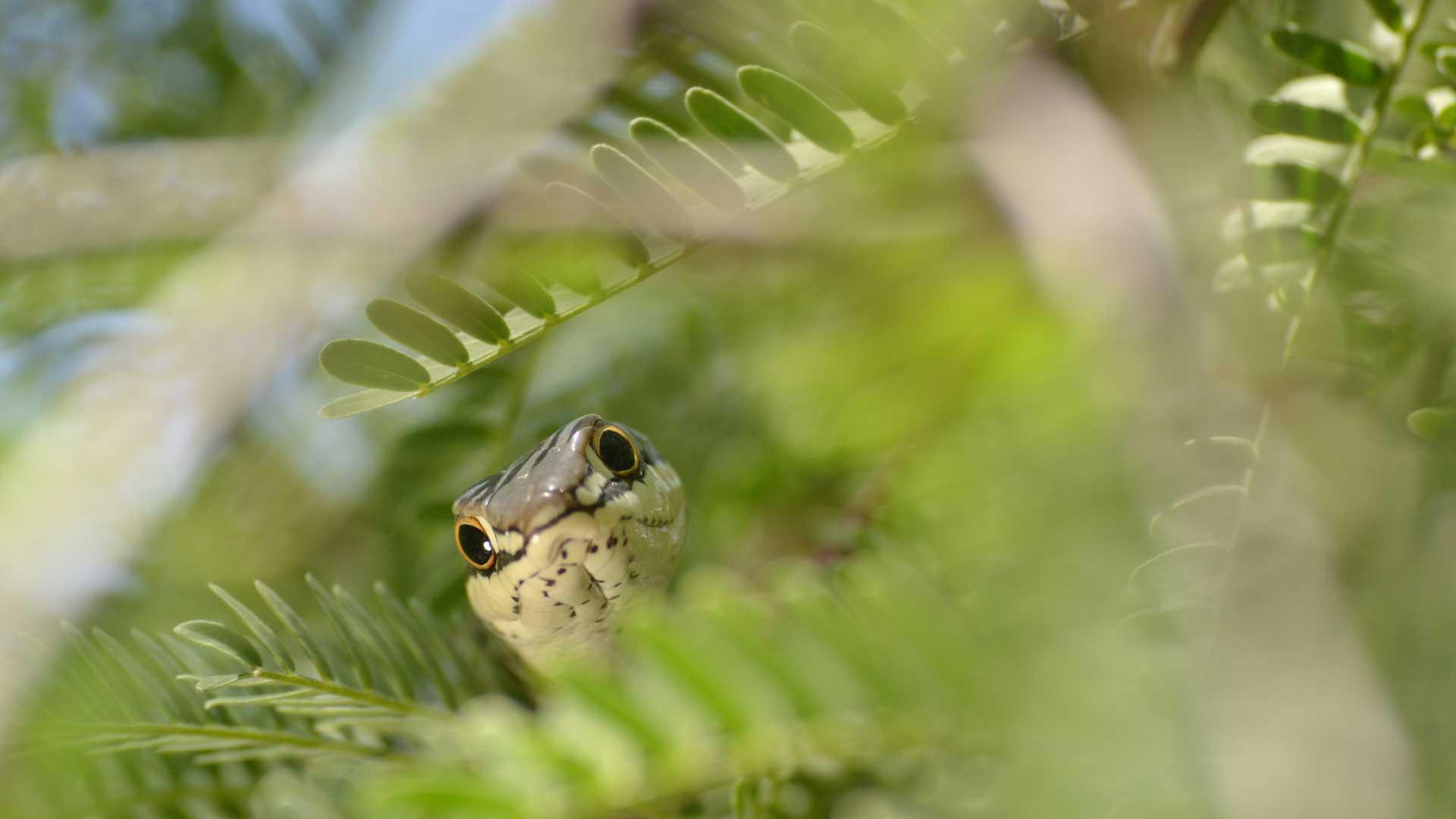 Sonoran whipsnake closeup