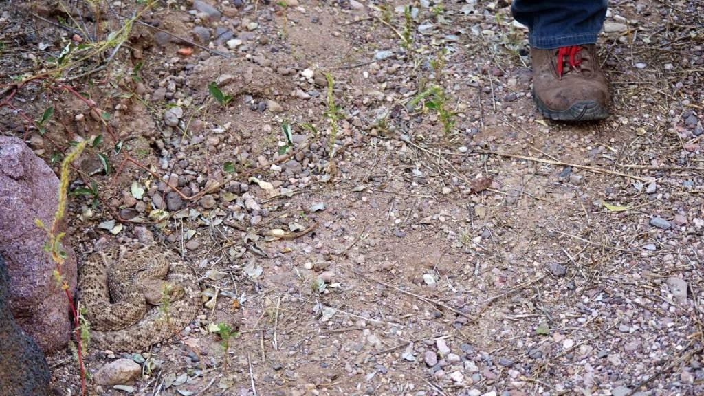 Hiker steps near a western diamondback rattlesnake