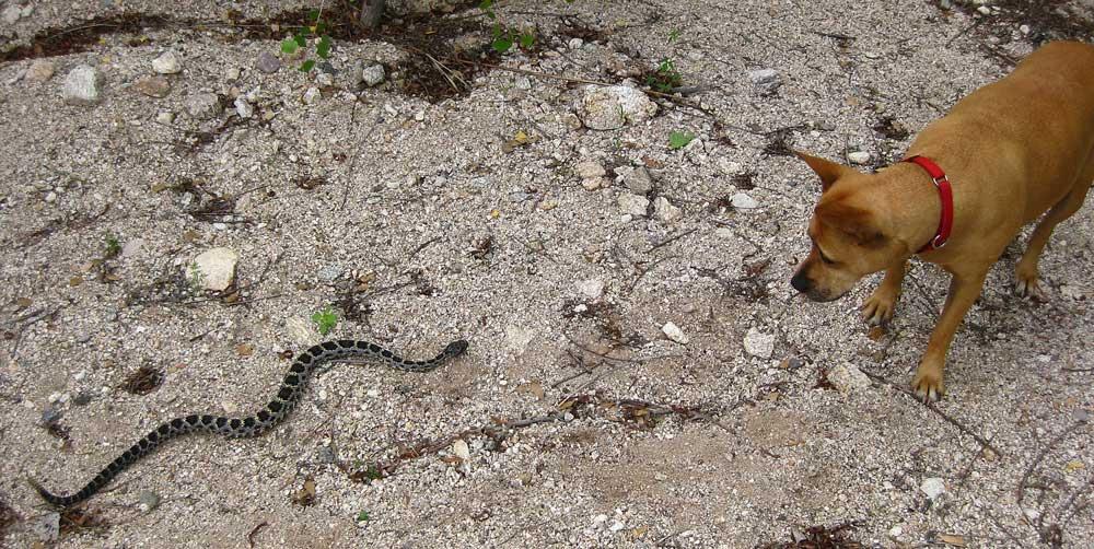 Lula keeps a safe distance from an Arizona Black Rattlesnake.
