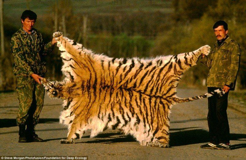 Tigrul Siberian, specie in pericol de disparitie. Va diparea si va ramane mandria vanatorilor