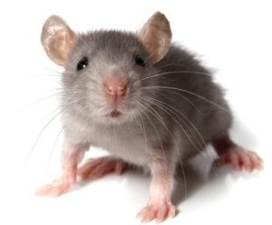 A picture of a field mouse