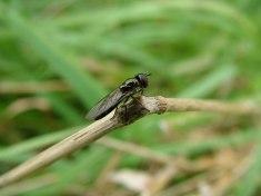 Rodley Fly