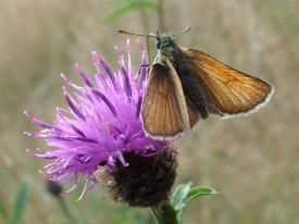 Harrogate Moth