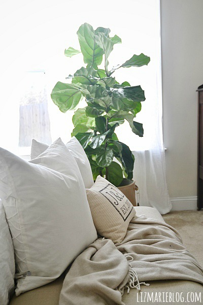 today i just wanted to introduce you to our fiddle fig u0026 reach out to any of you who have had a fiddle fig experience u0026 get some advice stories