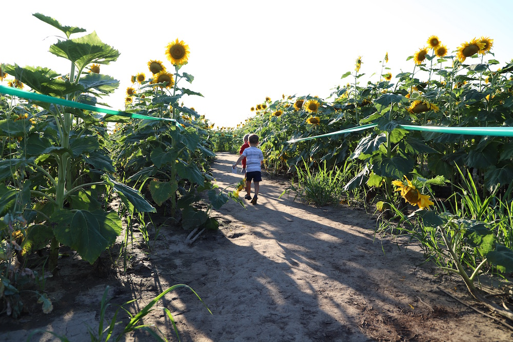 Eckert's Sunflower Maze in Belleville, IL
