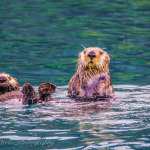 Sea Otters, Olsen Bay, Prince William Sound, Alaska
