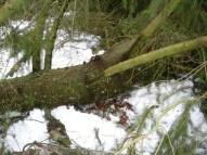 Maibaum Umschneiden 12.02.2005 - 20