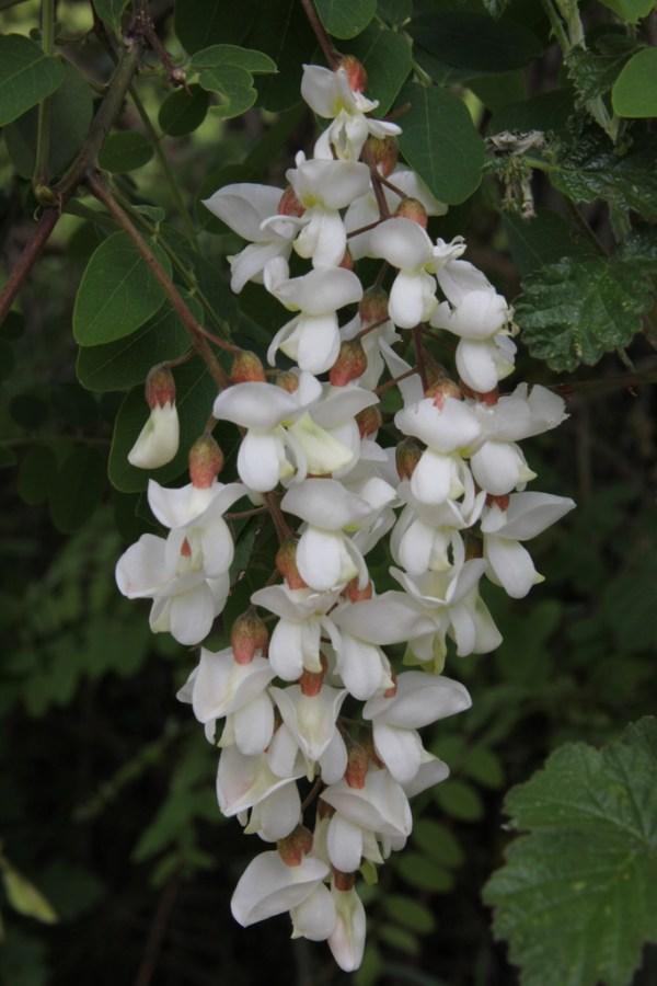 A flower raceme