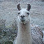 frosty llama