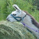feeding llamas, hay