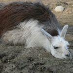 racing llama