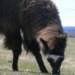 grazing llamas, grass