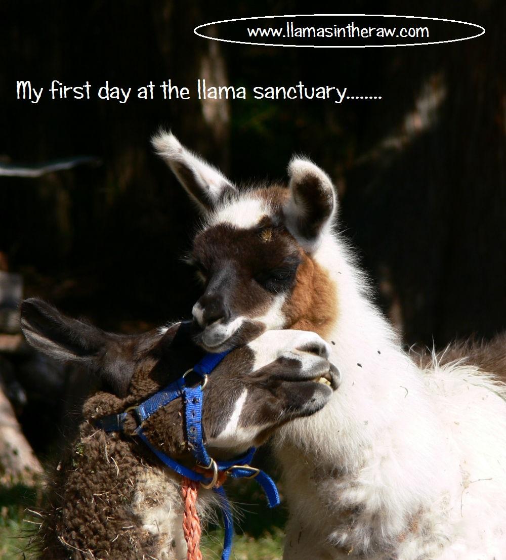 llama rescue in British Columbia