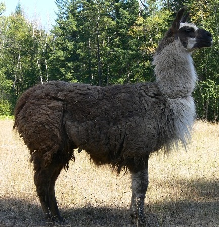 llama with matted and rotten coat
