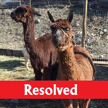 alpacas near kelowna find a new home