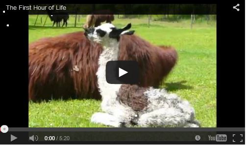 daily life at the llama sanctuary