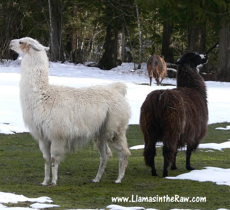 rescued llamas arrive at sanctuary