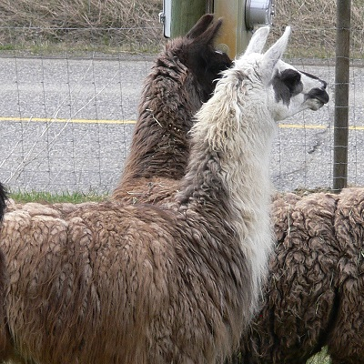 all about llamas