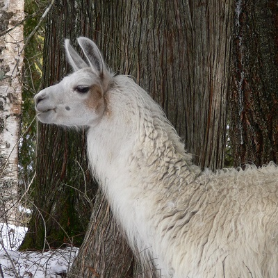 The Llama Sanctuary finding forever homes for llamas in need